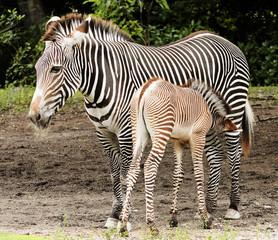 Zebra Calf Feeding