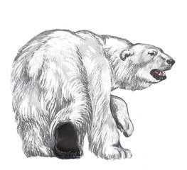 The polar bear goes across Arctic regions