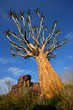 Quiver tree against a blue sky, Namibia, southern Africa