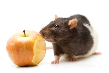 Home rat eating apple