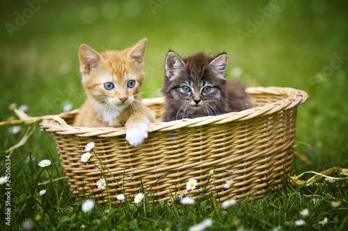 zwei katzenbabys in einem k rbchen von creative studio lizenzfreies foto 24506334 auf. Black Bedroom Furniture Sets. Home Design Ideas
