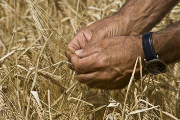 Weizenkörner auf Reifegrad prüfen