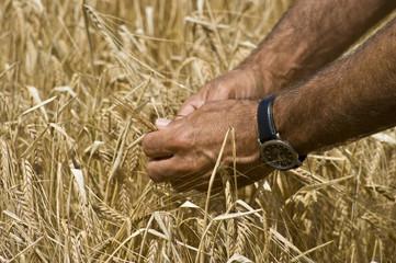 Reife der Weizenkörner prüfen