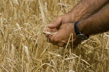 Weizen in der Hand halten