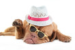 Dogue de bordeaux with  hat