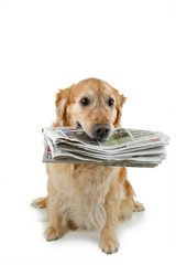 golden retriever, apporte le journal