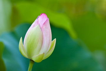 Lotus (Nelumbo nucifera) flower