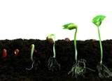 Germination of bean seeds in sequence poster