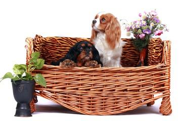 Zwei Cavalier King Charles Spaniel auf einer Hundecouch