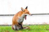 Red Fox Yawning Showing Wide Jaws and Teeth poster