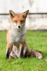 Wily Red Fox Sitting