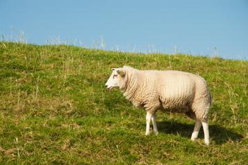 White sheep in grass dike