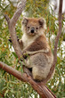 Wild Koala in gumtree