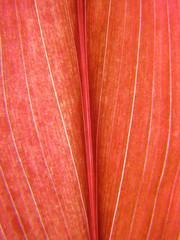 Closeup Red Tropical Tea Leaf Plant
