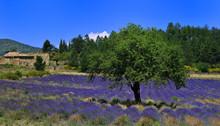 champs provencal et sa lavande