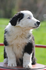 BORDER COLLIE, 2 MESI