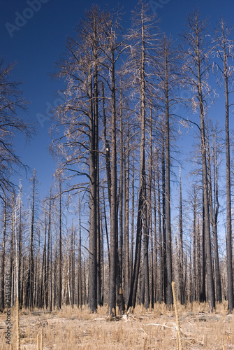 Birch trees forest fire
