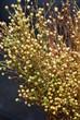 Flachspflanze (Linum)