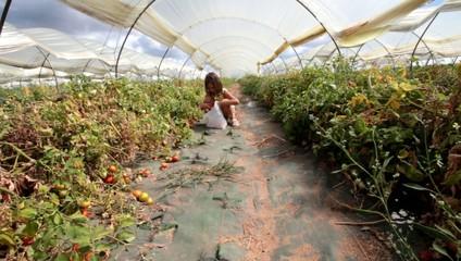 cueillette de tomates sous serre