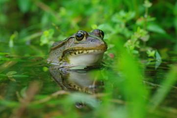 殿様蛙  -Rana nigromaculata-