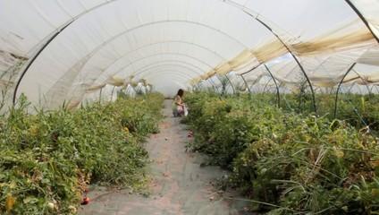 marcher dans les serres de tomates
