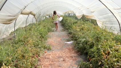 promenade dans la serre de tomates
