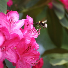 Flying  Bumble Bee and Rhododendron Flower