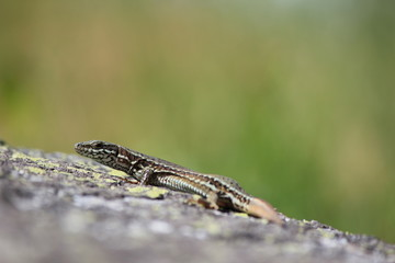 lizard in the natura