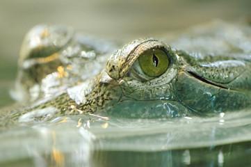 Detail of gavials eye
