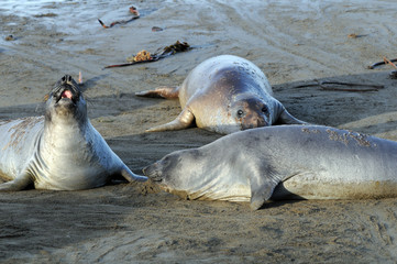 Elephant Seals cavorting