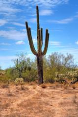 Cereus giganteus Saguaro cactus