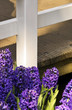 Purple hyacinths in a garden