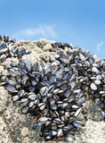 eatable mussels on a rock poster