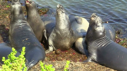Elephant seals napping on beach - HD