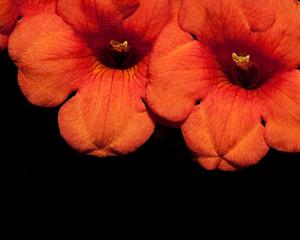 detalle de flores naranjas