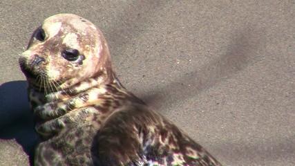 Harbor seal close up - HD