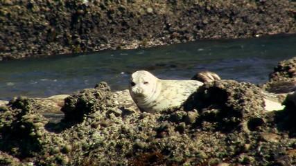 White harbor seal - HD