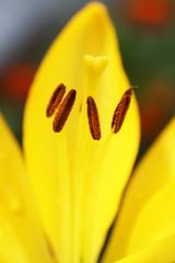 Yellow lily closeup