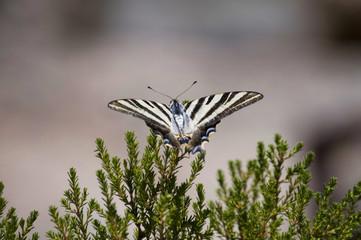 Mariposa lobios