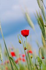 Red poppy in the wheat field