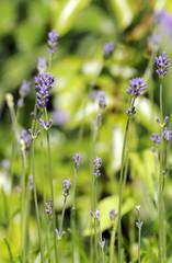 Lavendelpflanzen auf einer Wiese