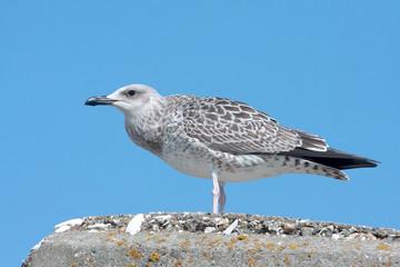 a juvenile of yellow legged-gull / Larus cachinnans