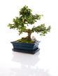 Arbre miniature bonsaï en pot bleuté