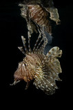 Lionfish Reflection