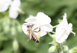 A Honey Bee Pollinating a White Flower. poster