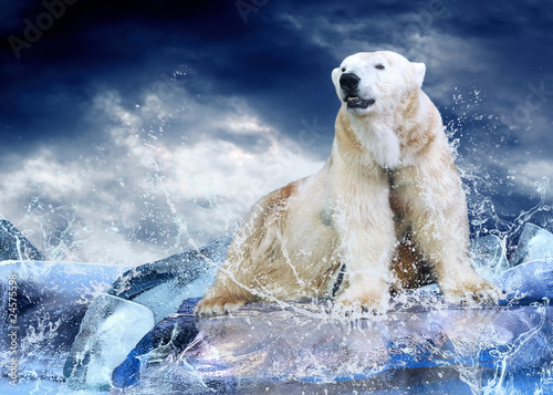 Staande foto Foto van de dag White Polar Bear Hunter on the Ice in water drops.