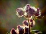 Wild bur flower at sunset. Macro, shallow DOF. poster