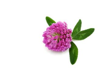 Violet flower of the dutch clover