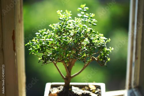 Plexiglas Bonsai bonsai