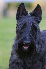 portrait d'un scottie noir